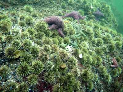 proliferación de erizos de mar verde