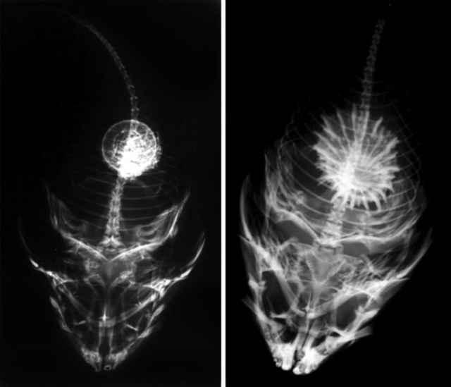 rocksucker visto a través de rayos X