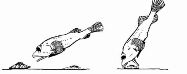 rocksucker despegando una lapa