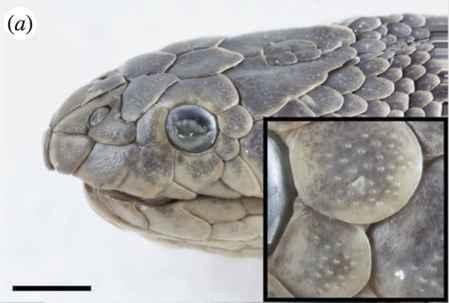 detalle de las escamas sensillas de una serpiente marina