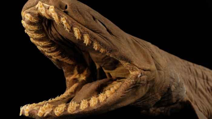 tiburón anguila