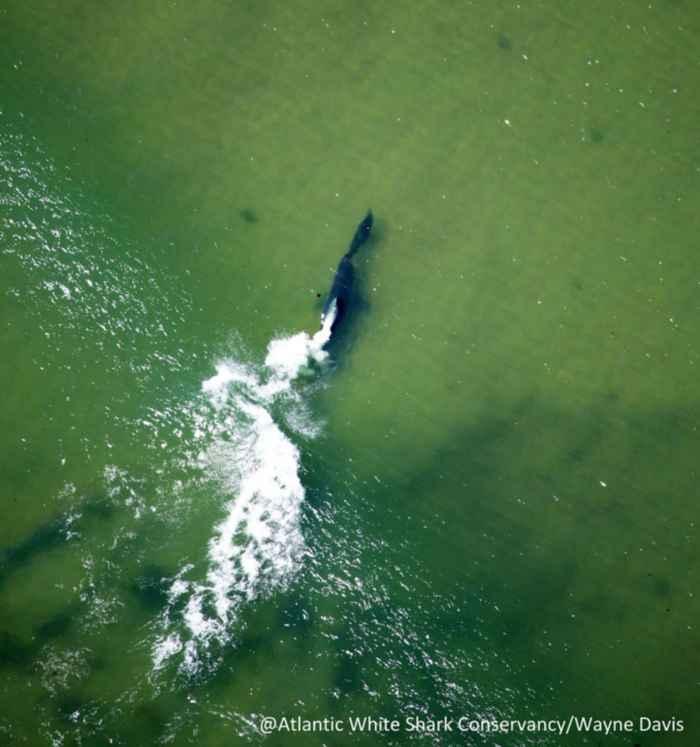 tiburón blanco persigue a un foca