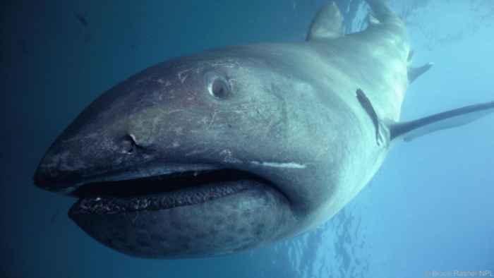 tiburón de boca ancha (Megachasma pelagios)