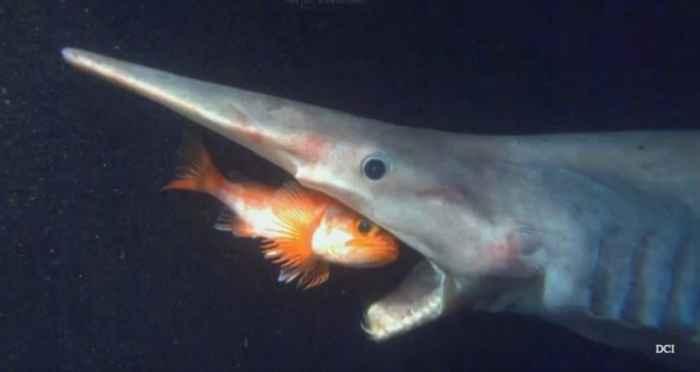 tiburón duende (Mitsukurina owstoni)