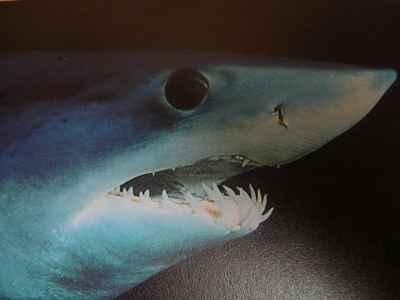 detalle de los dientes de un tiburón mako
