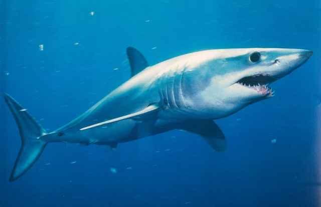 tiburón mako (Isurus oxyrinchus)