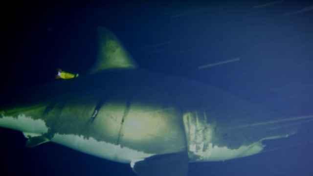 tiburón echando una siesta