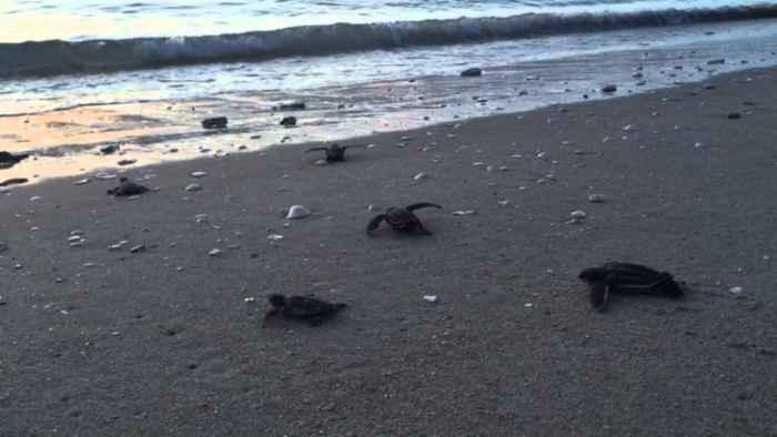 tortugas verdes dirigiéndose al mar