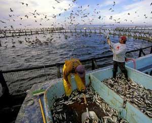 acuicultura, alimentación con peces pequeños
