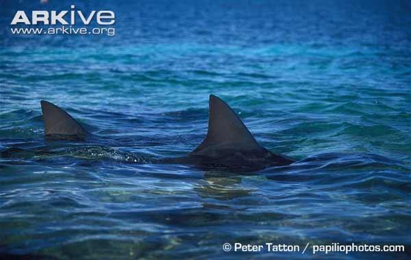 aletas de tiburones toro