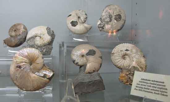 fósiles de ammonites