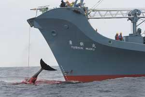 ballena arponeada barco ballenero japonés