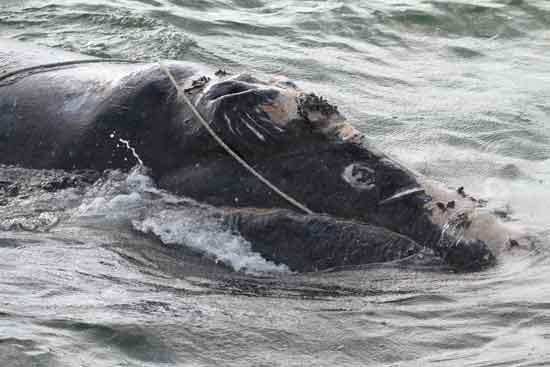 plano de la cabeza de la ballena enredada, costa de Florida