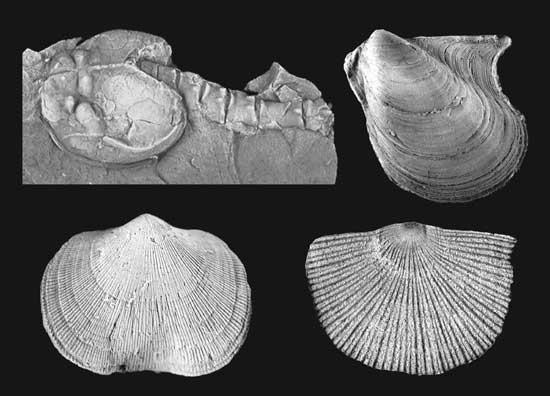 fósiles de bivalbos, braquiópodos y crustáceos
