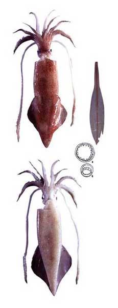 calamar Loligo pealeii, gráfico
