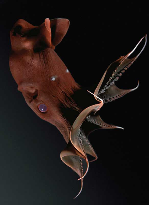 calamar vampiro (Vampyroteuthis)