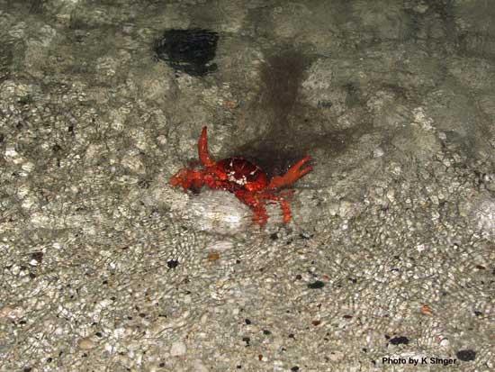 cangrejo rojo hidratación, Isla de Navidad