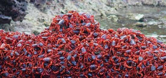 cangrejos rojos isla de Navidad en la playa