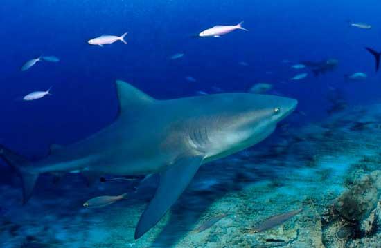 Carcharhinus leucas, tiburón toro