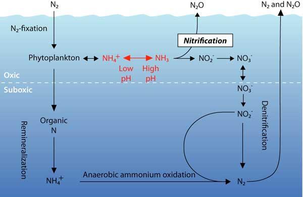ciclo marino del nitrógeno en el océano