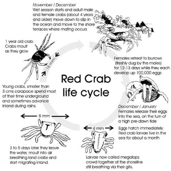 ciclo vital del cangrejo rojo de la isla de Navidad