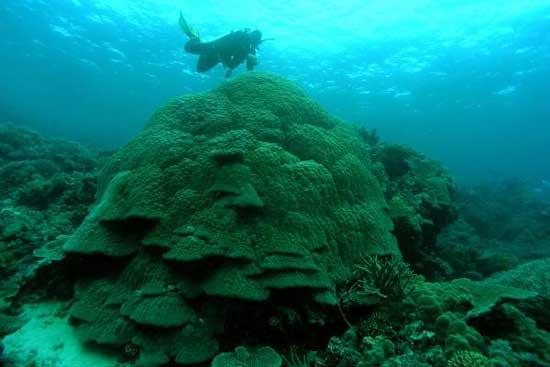 corales porites son inspeccionados por un buzo