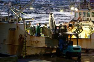 descarga de tiburones puerto de Kesennuma, Japón