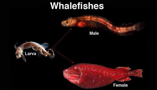 familia de pez ballena (Cetomimidae)