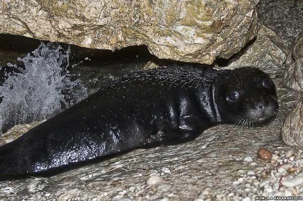 cría de foca monje del Mediterráneo en Grecia