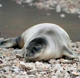foca monje del Mediterráneo en una playa de Grecia