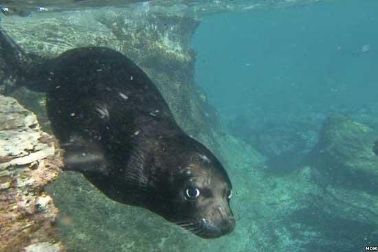 foca monje del Mediterráneo sumergida en aguas griegas