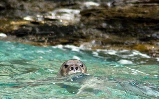 foca monje del Mediterráneo en Grecia