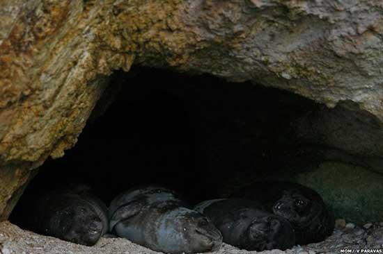 focas monje del Mediterráneo en cueva de Grecia