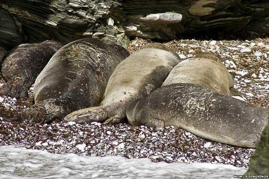 focas monje del Mediterráneo en una playa en Grecia