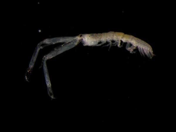 leptocheliidae sensulato