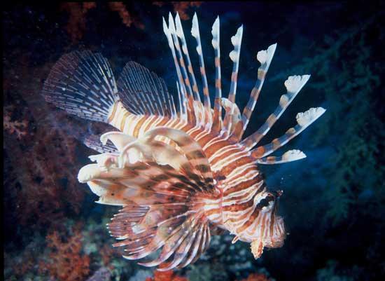 lionfish, pez león