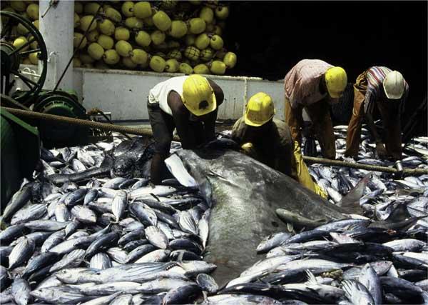 manta raya capturada en una pesquería de atún