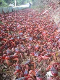 migración cangrejo rojo de la Isla de Navidad