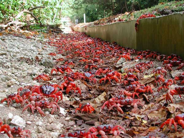 migración cangrejos rojos Isla de Navidad, Australia