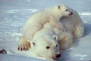 osa polar y cachorro