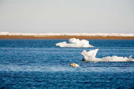 oso polar nada entre témpanos de hielo