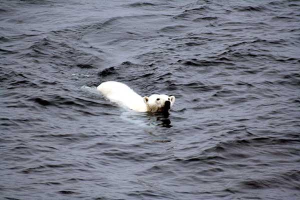 oso polar nadando en mar abierto