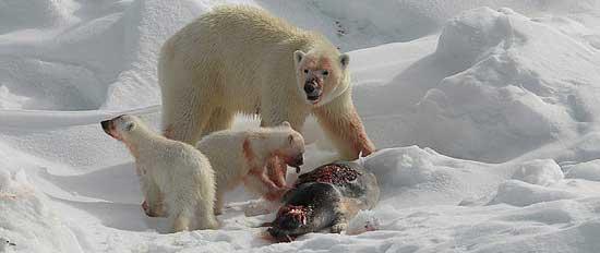 osos polares comiendo una foca