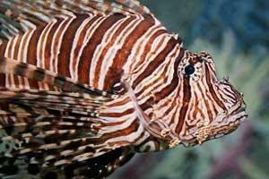 pez león en un acuario