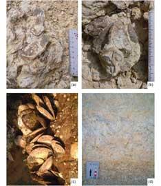 fósiles polyconites hadriani