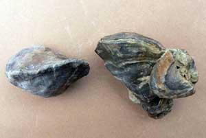 Polyconites hadriani