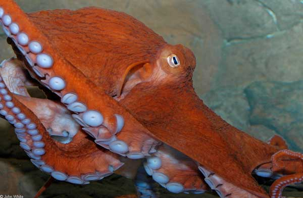 pulpo gigante (Enteroctopus dofleini)