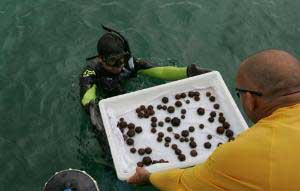 repoblación de erizos de mar para salvar arrecifes de coral