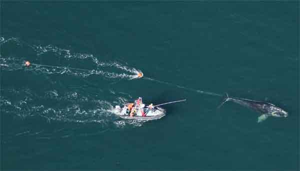 rescate ballena enredada en la costa de Florida