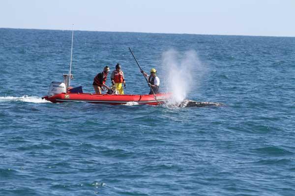 sedación de ballena enredada